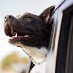 Happy pitbull dog with head out the window