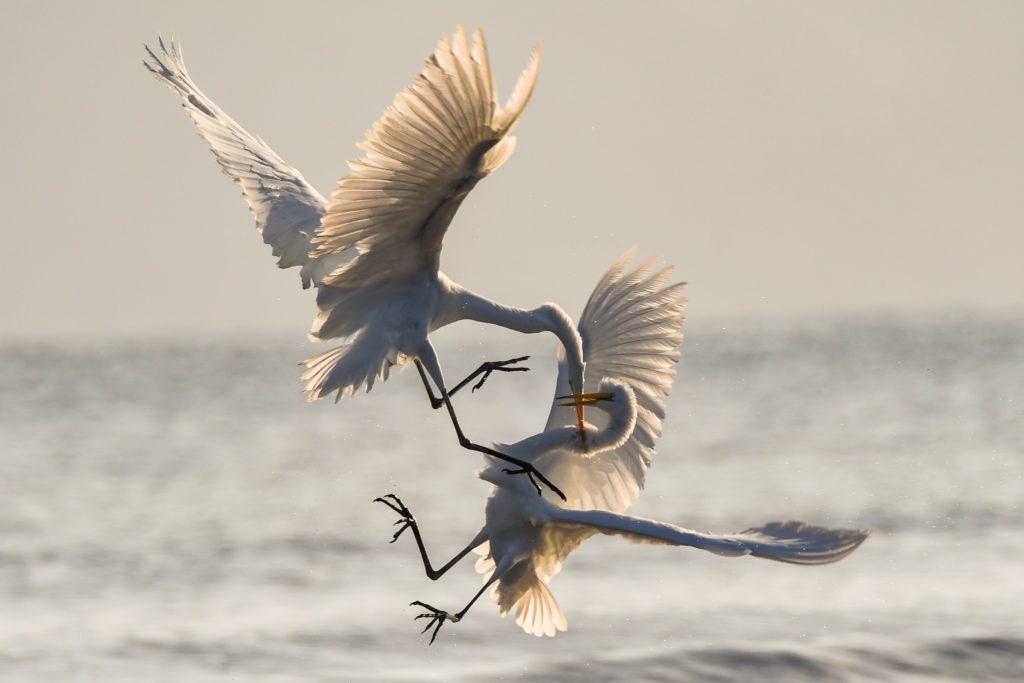 cranes-fighting-in-flight